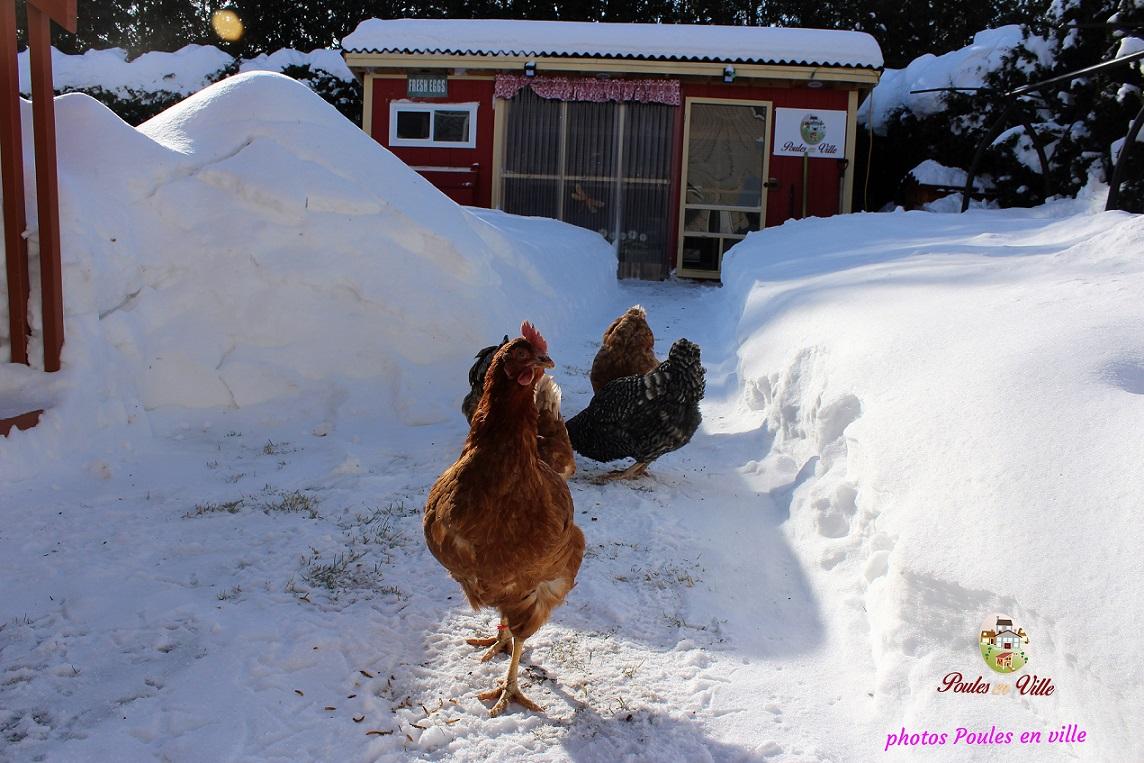 Des poules pondeuses en ville oui mais pas n 39 importe comment m diaterre - Poules en ville reglementation ...