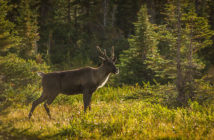 Mountain-type_Woodland_Caribou
