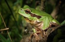 tree-frog-474949_640