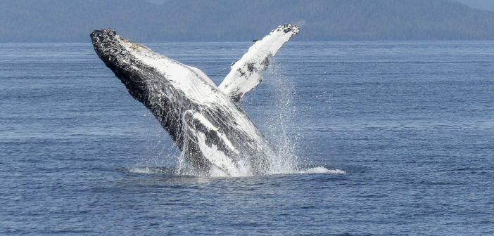 humpback-whale-436115_1280