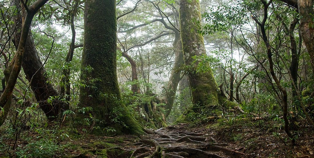 1024px-Forest_in_Yakushima_55