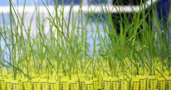 Jede gentechnisch veränderte Reispflanze in den Gewächshäusern von CropDesign hat einen eigenen Strichcode und Transponder. So kann sie jederzeit genau identifiziert werden. Im Gewächshaus wachsen die Reispflanzen bis zur Ernte heran   einige unter idealen Bedingungen. Andere werden dagegen verschiedenen Stresssituationen ausgesetzt, beispielsweise einer hohen Salzkonzentration im Boden oder großer Trockenheit. Forscher kontrollieren die Entwicklung aller Pflanzen: Sie werden regelmäßig vollautomatisch fotografiert und vermessen. Die dabei gesammelten Daten liefern Erkenntnisse über die Eigenschaften der Pflanzen und somit über die übertragenen Gene. Das belgische Unternehmen CropDesign entwickelt sogenannte Traits für den weltweiten Saatgutmarkt. Ein Trait ist eine wirtschaftlich wichtige Eigenschaft einer Nutzpflanze   wie zum Beispiel ein höherer Ertrag. Traits werden durch entsprechende Gene gesteuert.  Abdruck honorarfrei. Copyright by BASF.  Each genetically modified rice plant in the greenhouses at CropDesign has a barcode and transponder, allowing it to be accurately identified at any time. The rice plants ripen in the greenhouse until they are harvested   some of them under ideal conditions. Others are subjected to various stress situations, such as a high salt concentration in the soil or severe drought. Researchers monitor the development of all the plants: they are photographed and measured at regular intervals. The resulting data provide information about the characteristics of the plants and thus about the transported genes. Belgian biotechnology company CropDesign develops Œtraits¹ for the global seed market. A trait is a genetic feature that gives a crop an economically useful characteristic, such as higher yield. Traits are determined by a plant¹s genes.  Print free of charge. Copyright by BASF.