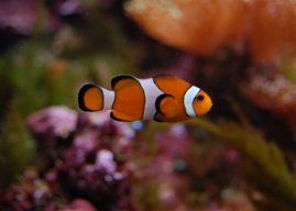 Océans : Nemo a trop chaud