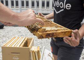 Musée des beaux-arts de Montréal: 100 000 abeilles pour conscientiser le public à l'importance des pollinisateurs
