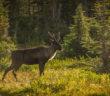 Mountain-type_Woodland_Caribou