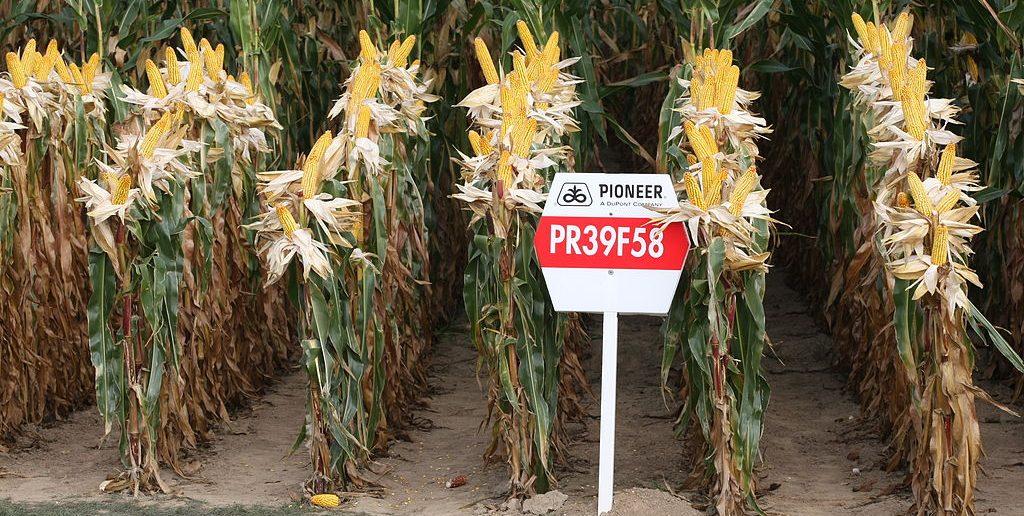 1024px-Pioneer_maize_PR39F58