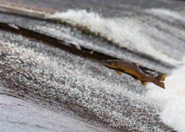 28 groupes environnementaux et entreprises s'inquiètent de la production du saumon OGM au Canada